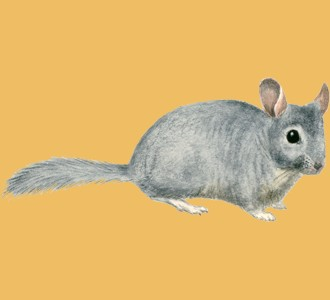 Take in a chinchilla species rodent