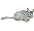 Chinchilla ##STADE## - coat 1
