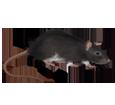 Brown Rat ##STADE## - coat 1340000005
