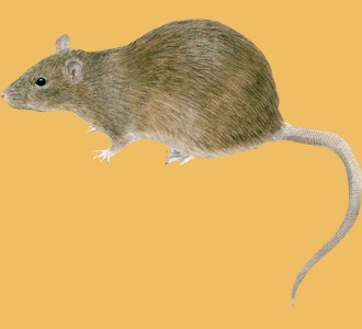 Take in a brown rat species rodent