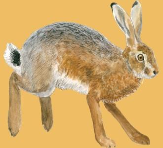 Brown Hare ##STADE## - coat 69