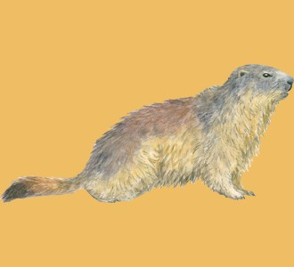 Take in a marmot species rodent