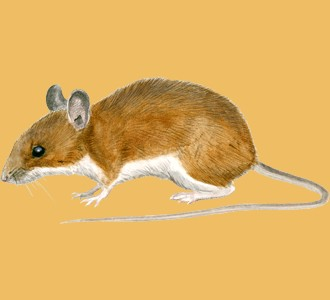Field Mouse ##STADE## - coat 17