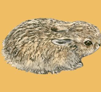 European Rabbit ##STADE## - coat 52