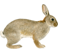 European Rabbit ##STADE## - coat 52