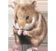 Common Hamster ##STADE## - coat 39