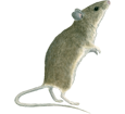Mouse ##STADE## - coat 52