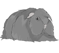 Peruvian Guinea Pig ##STADE## - coat 1340000007