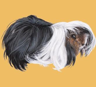 Peruvian Guinea Pig ##STADE## - coat 65